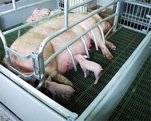 Как самому сделать премикс для свиней
